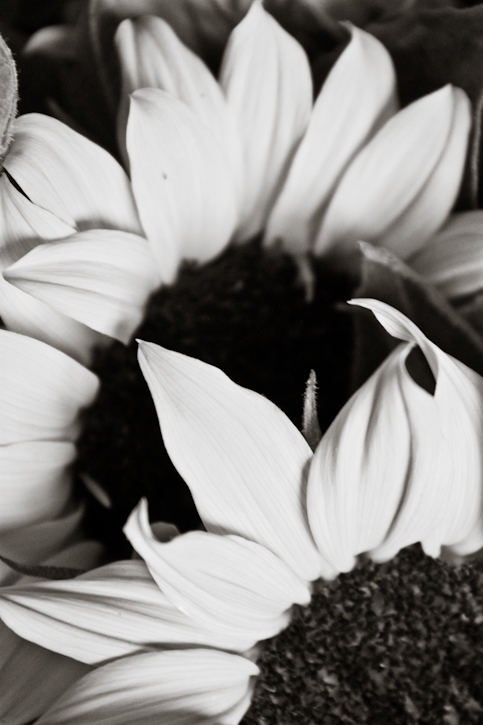 Sunflowers black and white up close